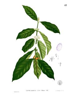 220px-Coffea_arabica_Blanco1.53